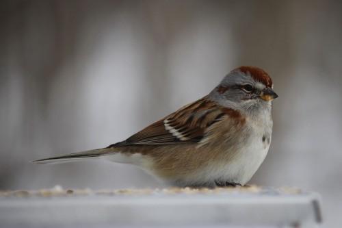 Sparrow Bird Vertebrate Wildlife Beak Feather Wild Animal Wing - Free Photo 1