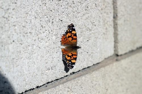 Insect Butterfly Admiral Bug Beetle Ladybug Arthropod - Free Photo 1