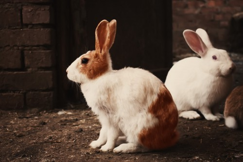 Hare Rabbit Bunny Mammal Easter Fur Pet - Free Photo 1