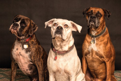 Dog Canine Boxer Domestic animal Pet Breed Purebred Puppy Cute - Free Photo 1