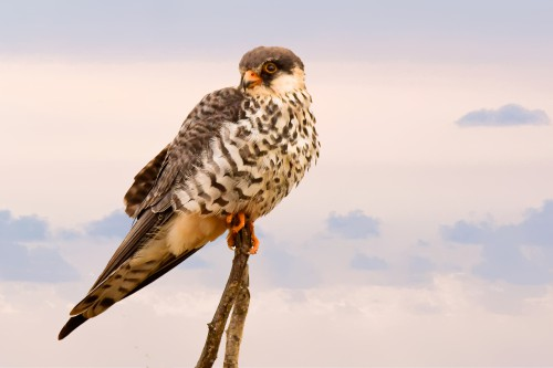 Owl Bird Falcon Hawk Beak Wildlife Feathers Predator Feather Eye - Free Photo 1
