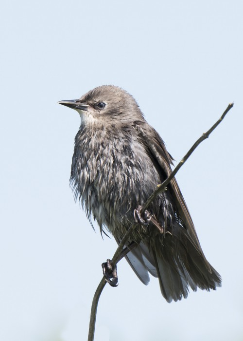 Bird Starling Wildlife Beak Wild Feather - Free Photo 1