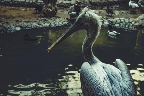 Pelican Bird Seabird Aquatic bird Wildlife Water Beak - Free Photo