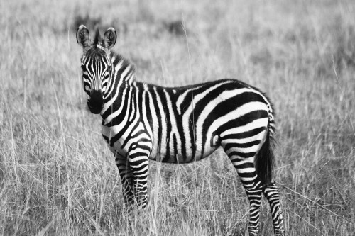 Zebra Equine Ungulate Wildlife Safari Mammal - Free Photo 1