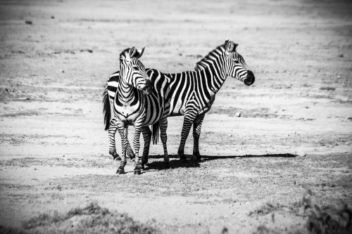 Zebra Equine Ungulate Mammal Wildlife Safari Wild Stripes - Free Photo 1