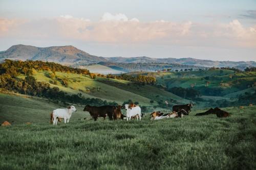 Cow Cattle Ranch Farm Grass Rural Field Bovine - Free Photo 1