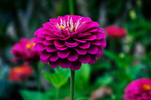 Petal Flower Pink Plant Daisy Flora Blossom Garden Bloom Spring - Free Photo