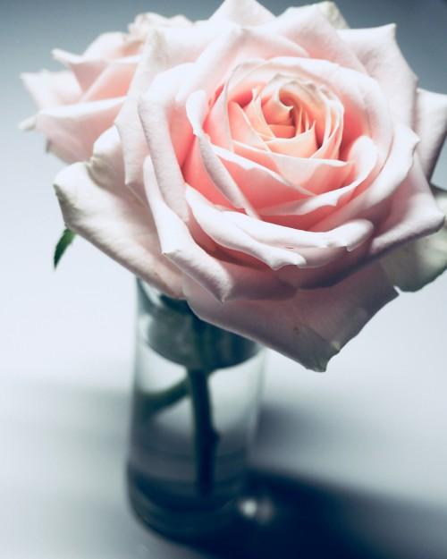 Bud Rose Flower Pink Bouquet Petal - Free Photo 1