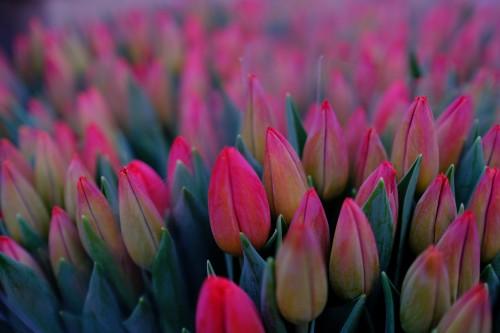 Tulip Tulips Spring Plant Blossom Floral Flower Garden Flora - Free Photo