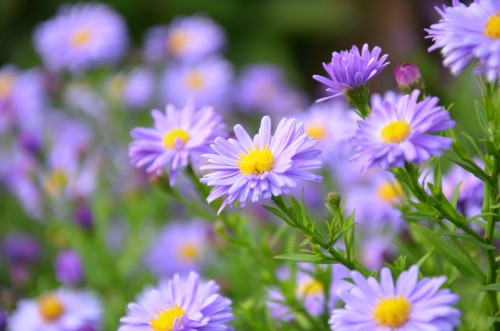 Flower Daisy Herb Plant Aster - Free Photo