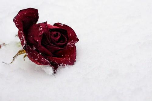 Fastener Rose Restraint Flower Petal Love Valentine Device Raspberry Berry #1