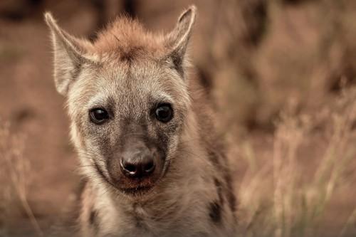 Hyena Canine Mammal Wildlife Wild - Free Photo 1