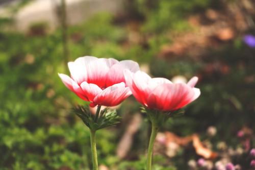 Pink Flower Tulip Tulips Spring Garden - Free Photo