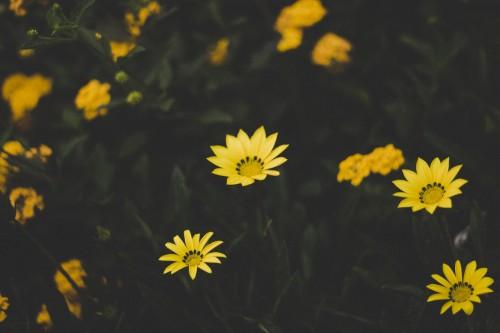 Herb Plant Sunflower Flower Yellow Field - Free Photo 1