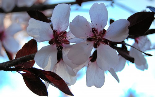 Almond Tree Flower Spring Petal Blossom Branch - Free Photo 1