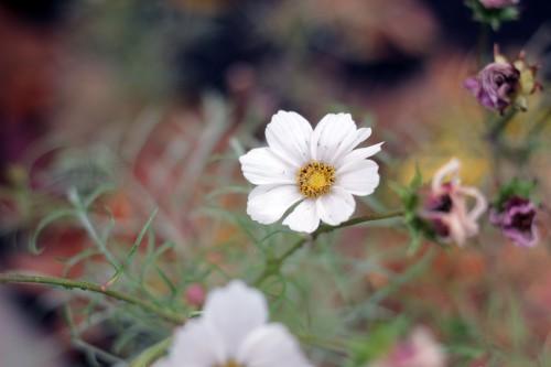 Herb Daisy Flower Plant Vascular plant Blossom - Free Photo 1