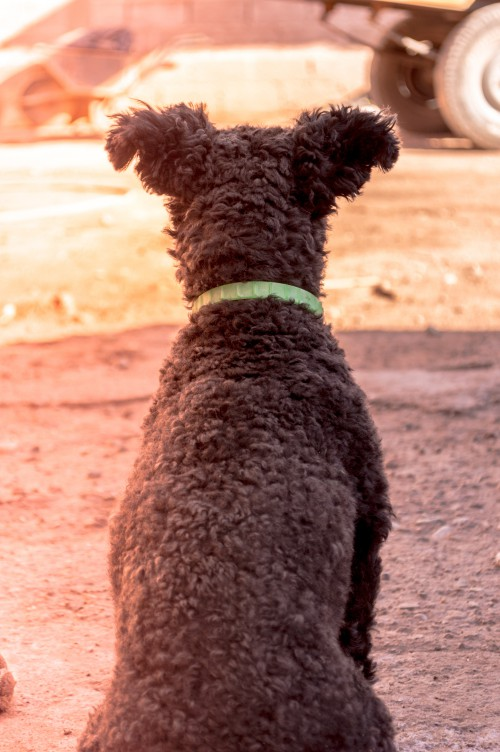 Water spaniel Spaniel Sporting dog Poodle Dog Hunting dog Standard poodle Wildlife Wild Brown - Free Photo 1