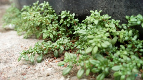 Parsley Plant Herb Vascular plant Leaf Vegetable Basil Garden
