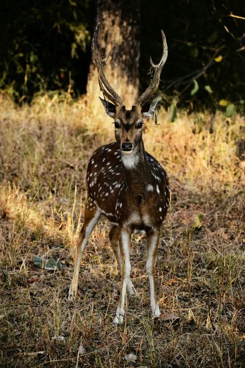 Buck Mammal Placental Antelope Wildlife - Free Photo 1