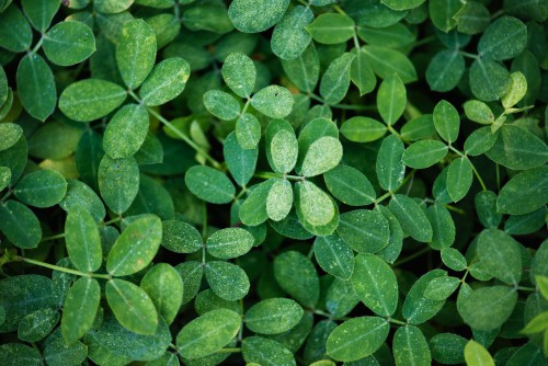 Plant Leaf Vascular plant Clover Herb Common wood sorrel Leaves