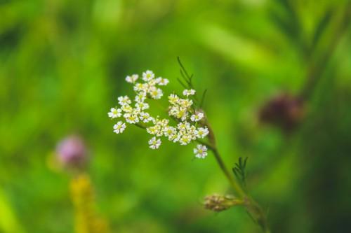 Herb Plant Flower Spring Garden Field Blossom - Free Photo 1