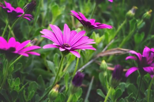 Flower Plant Daisy Vascular plant Garden Blue-eyed grass Flora Blossom Bloom Pink - Free Photo