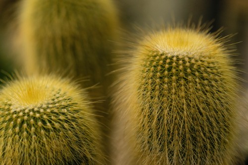 Brush Chestnut Sea urchin Shaving brush Plant Echinoderm Cactus - Free Photo 1