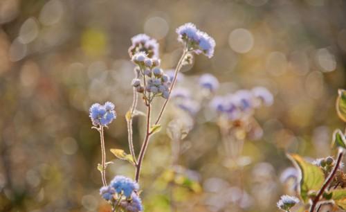 Vascular plant Herb Plant Flower Forget-me-not Spring Garden - Free Photo