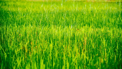 Rice Wheat Grain Starches Grass Field Cereal - Free Photo 1