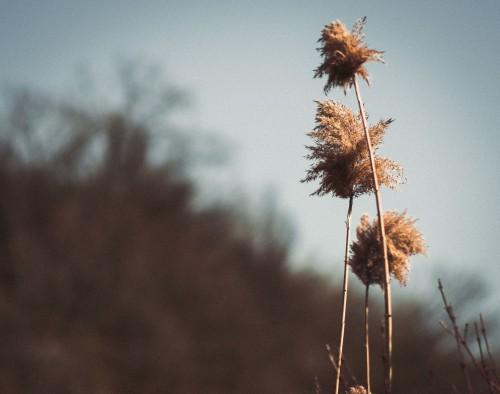 Herb Plant Dandelion Sky Reed