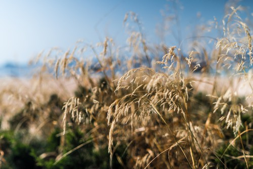 Wheat Reed Cereal Field Herb Rural Plant Sky Agriculture Farm #1
