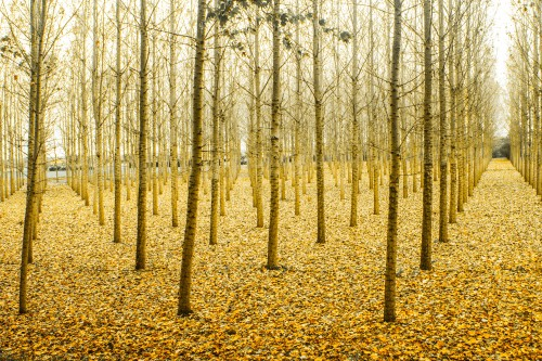 Poplar Tree Forest Woody plant Birch - Free Photo 1