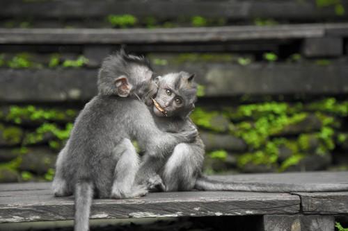 Monkey Primate Wildlife Mammal Wild Fur Ape Animals - Free Photo 1