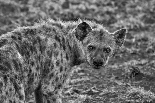 Predator Leopard Feline Wildlife Safari Jaguar Mammal
