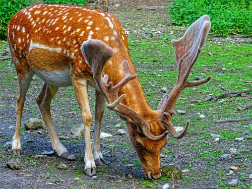 Deer Buck Wildlife Mammal Antelope Gazelle - Free Photo 1