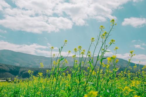 Field Soy Landscape Grass Rural Rapeseed Sky Mustard - Free Photo 1