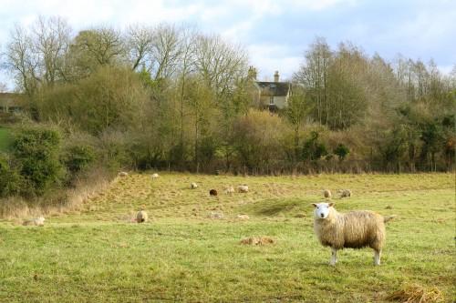 Simpleton Grass Sheep Farm Field - Free Photo 1