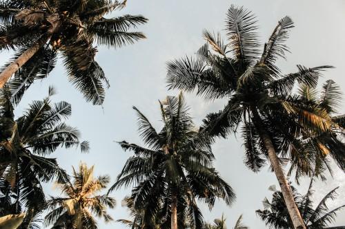 Tree Fir Coconut Pine Sky Plant - Free Photo 1