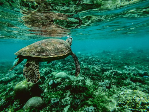 Sea turtle Turtle Loggerhead Terrapin Sea Water Ocean - Free Photo 1
